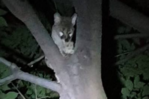 Rare Encounter with a Genet